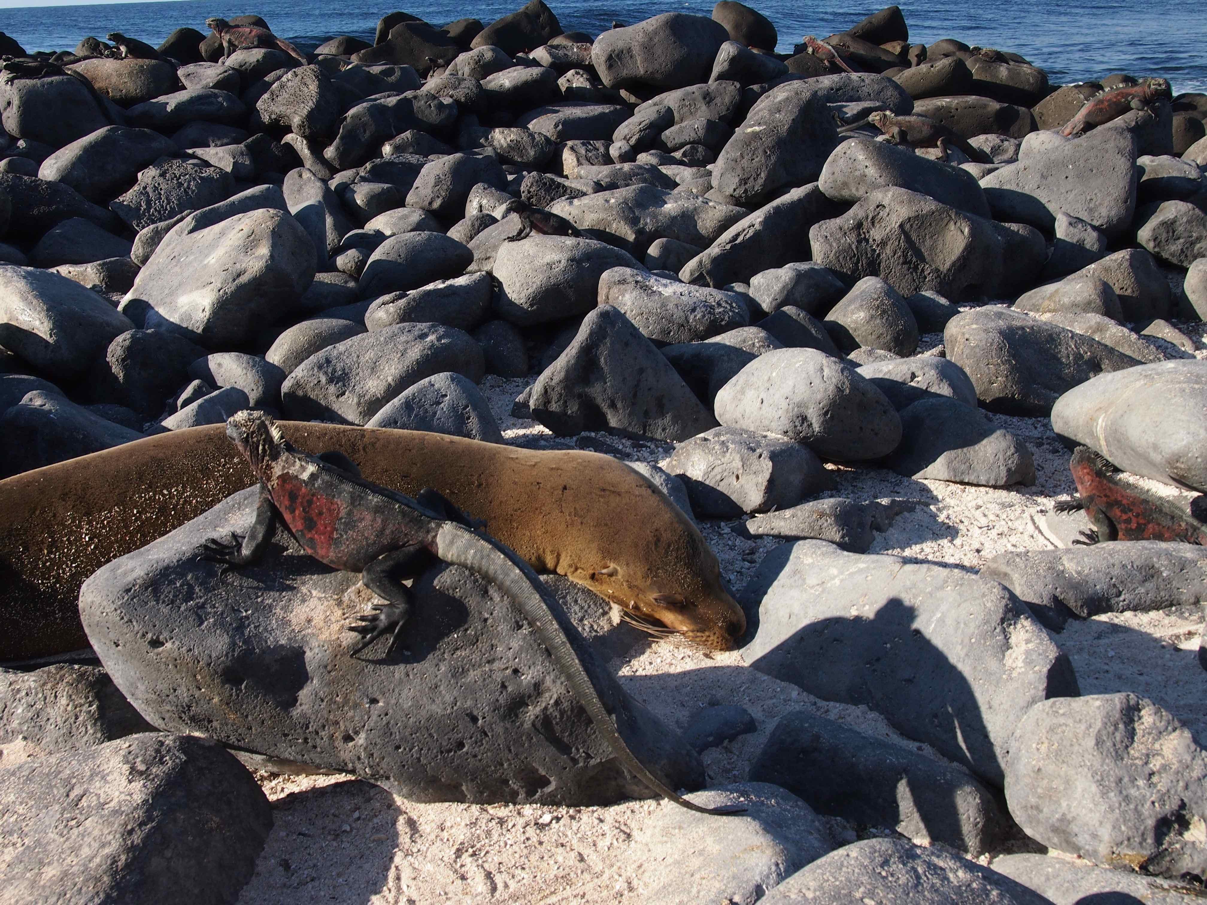 Marine Iguana Seal