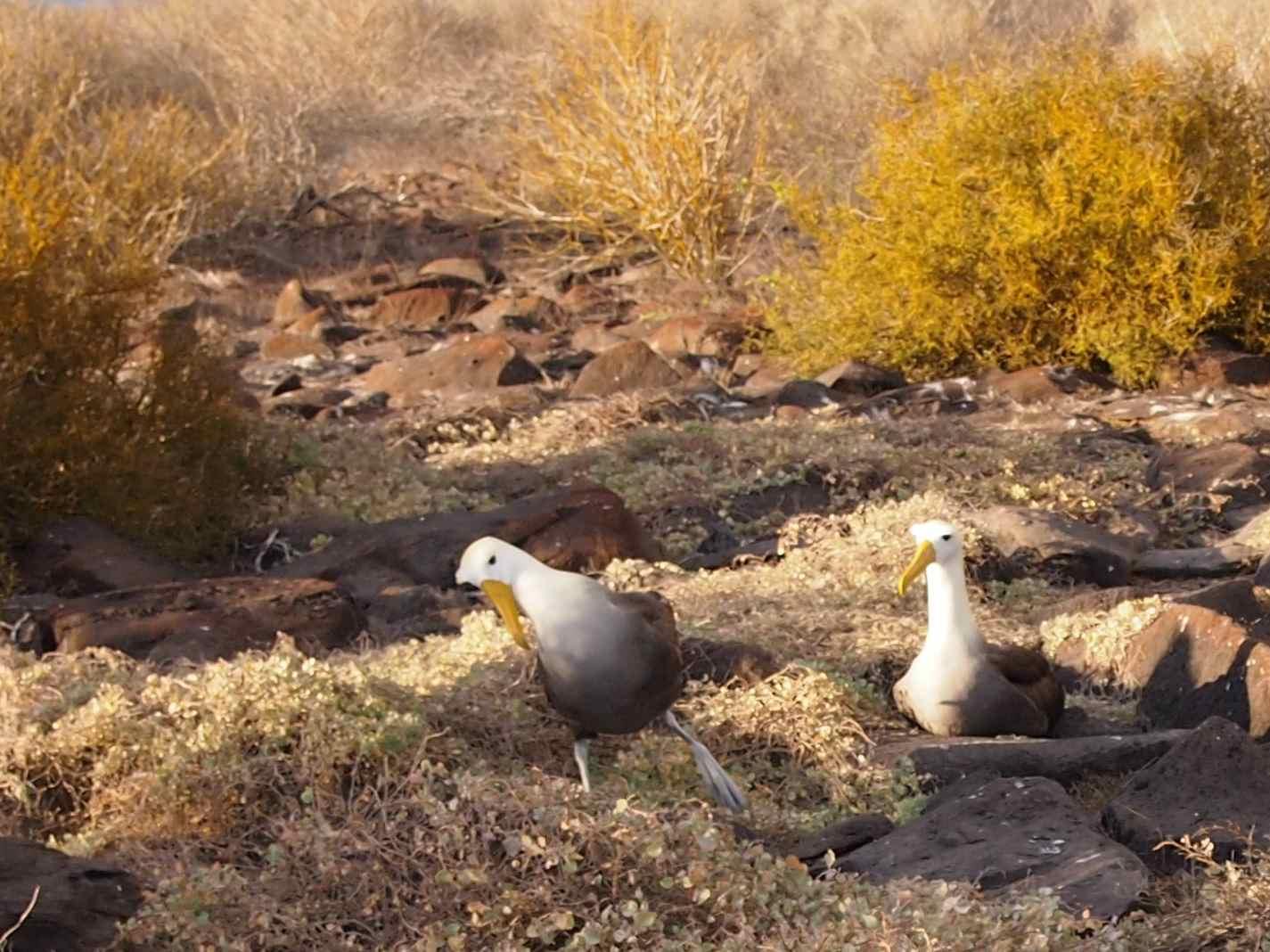 Wobbly Albatross