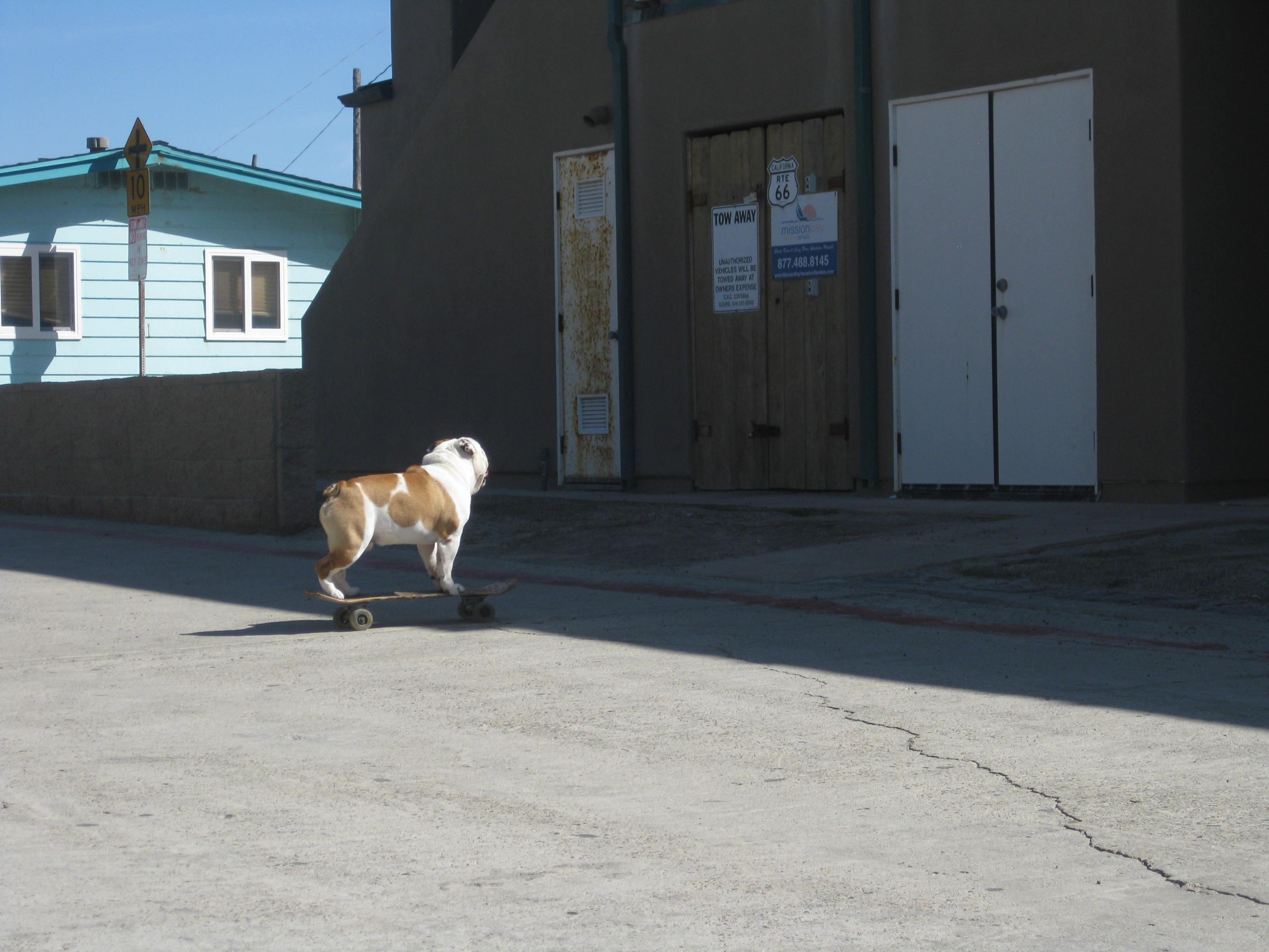 Angus Bulldog 1
