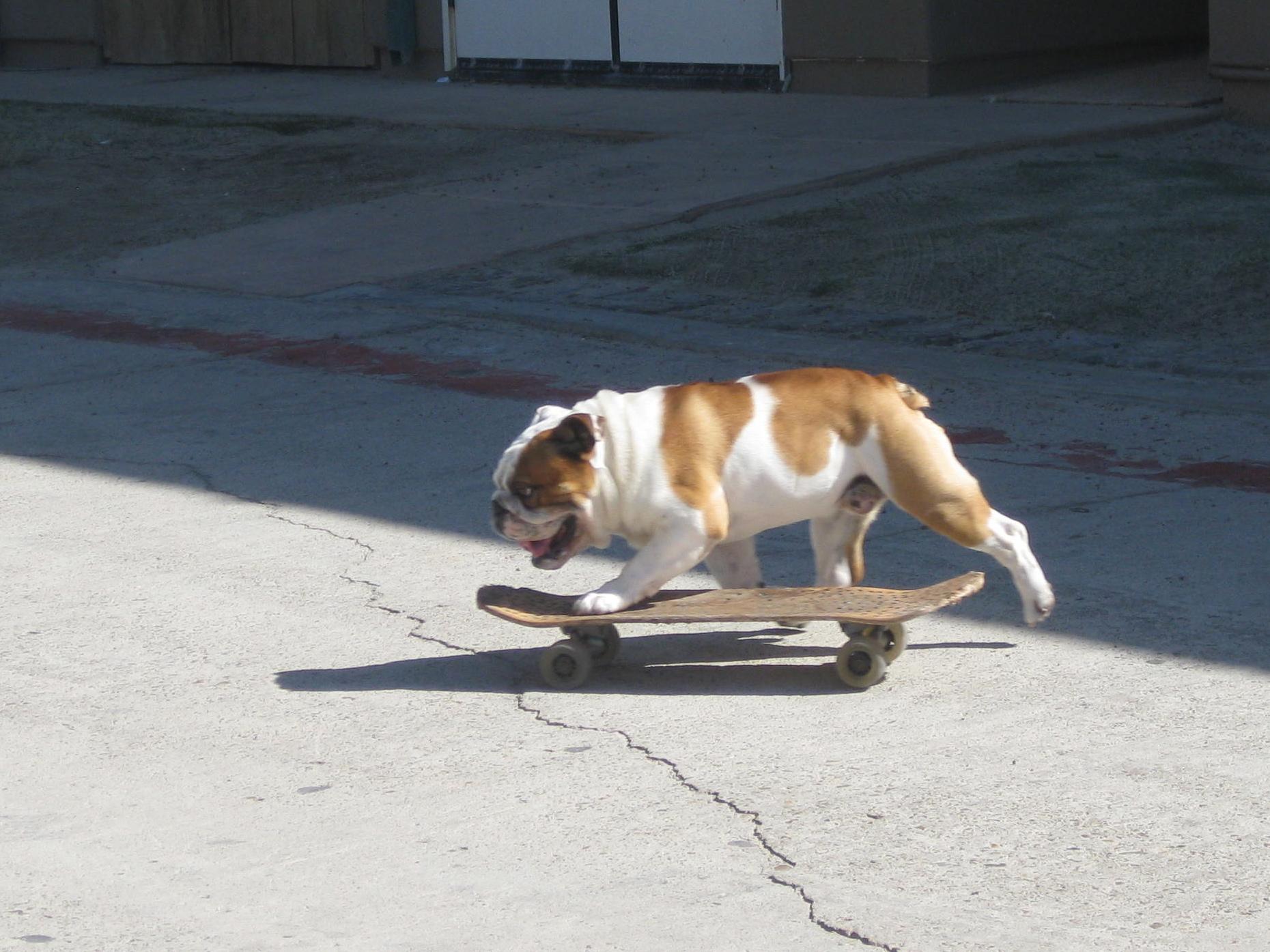 Angus Bulldog 5