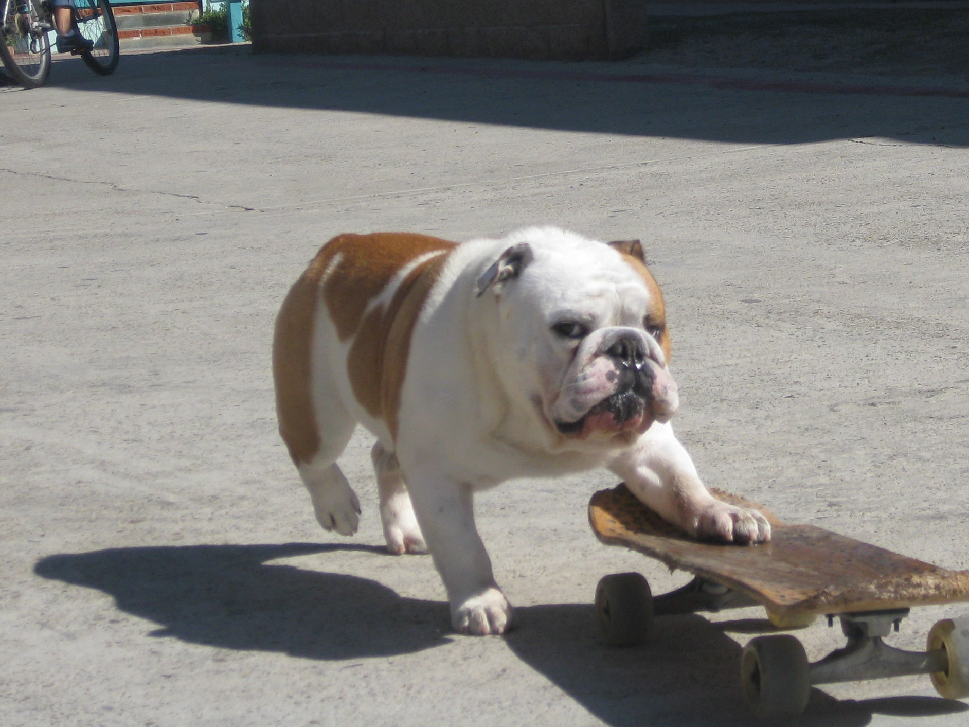 Angus Bulldog 2