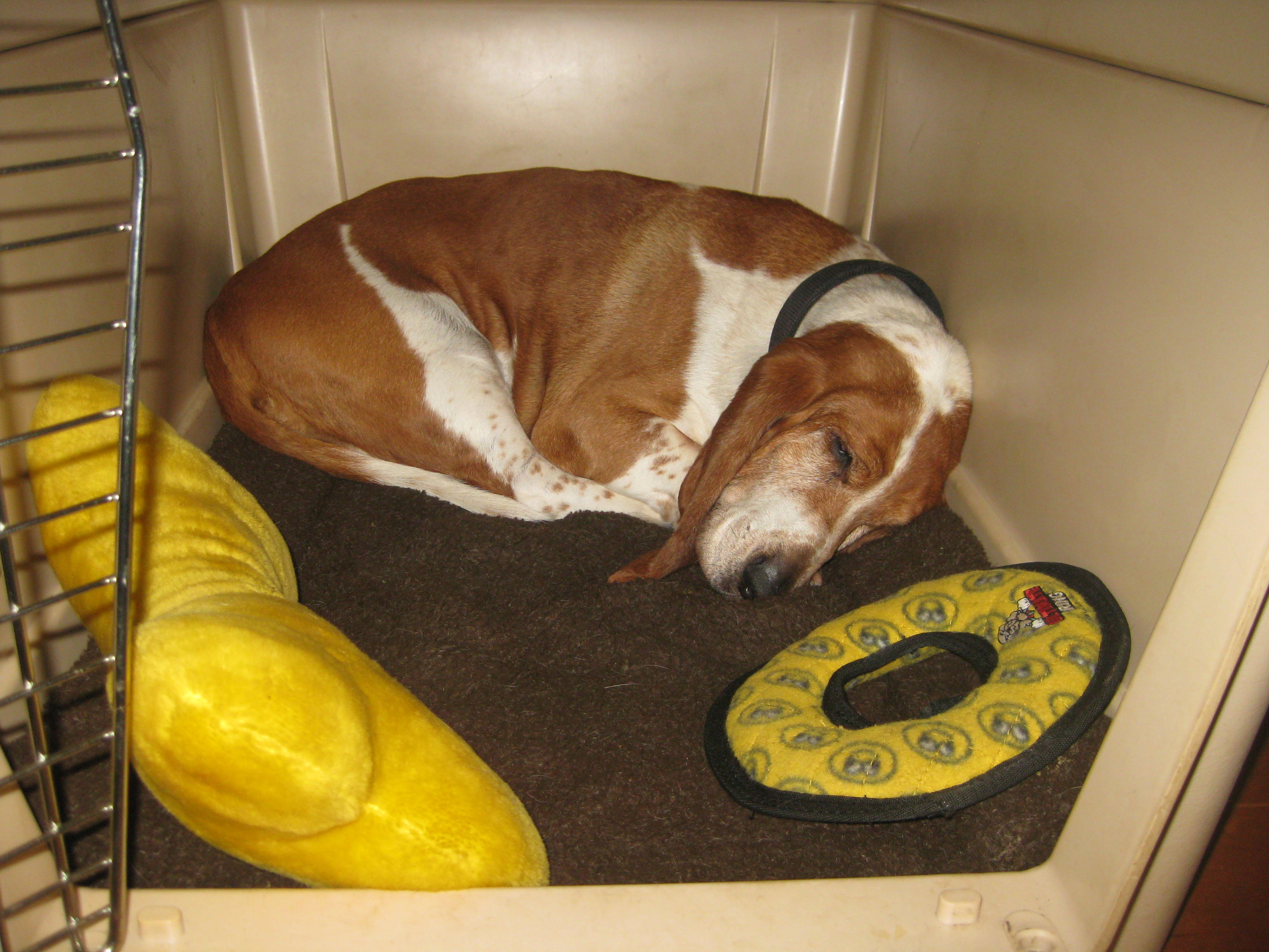 Sleeping Basset