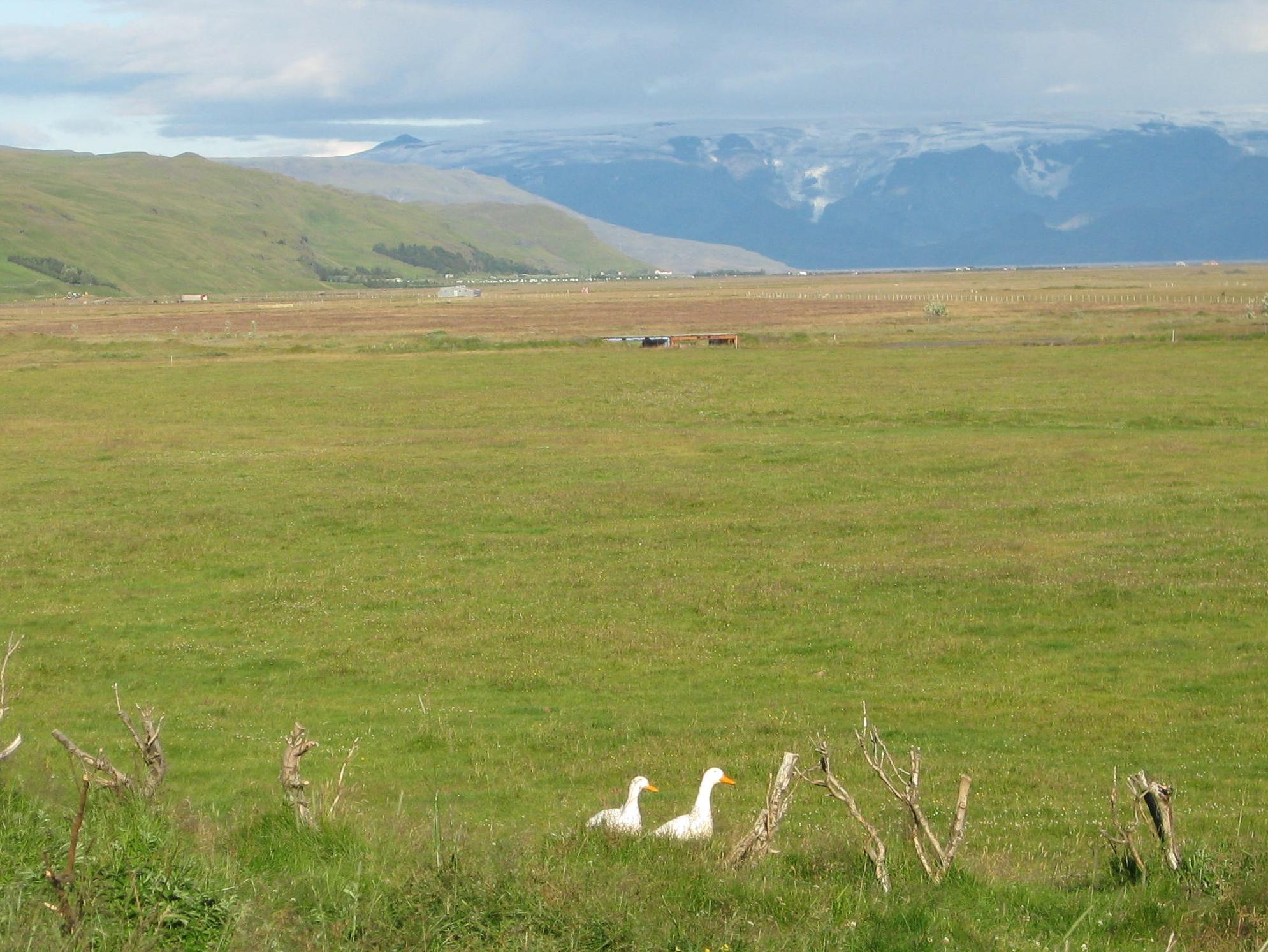 Ducks Iceland