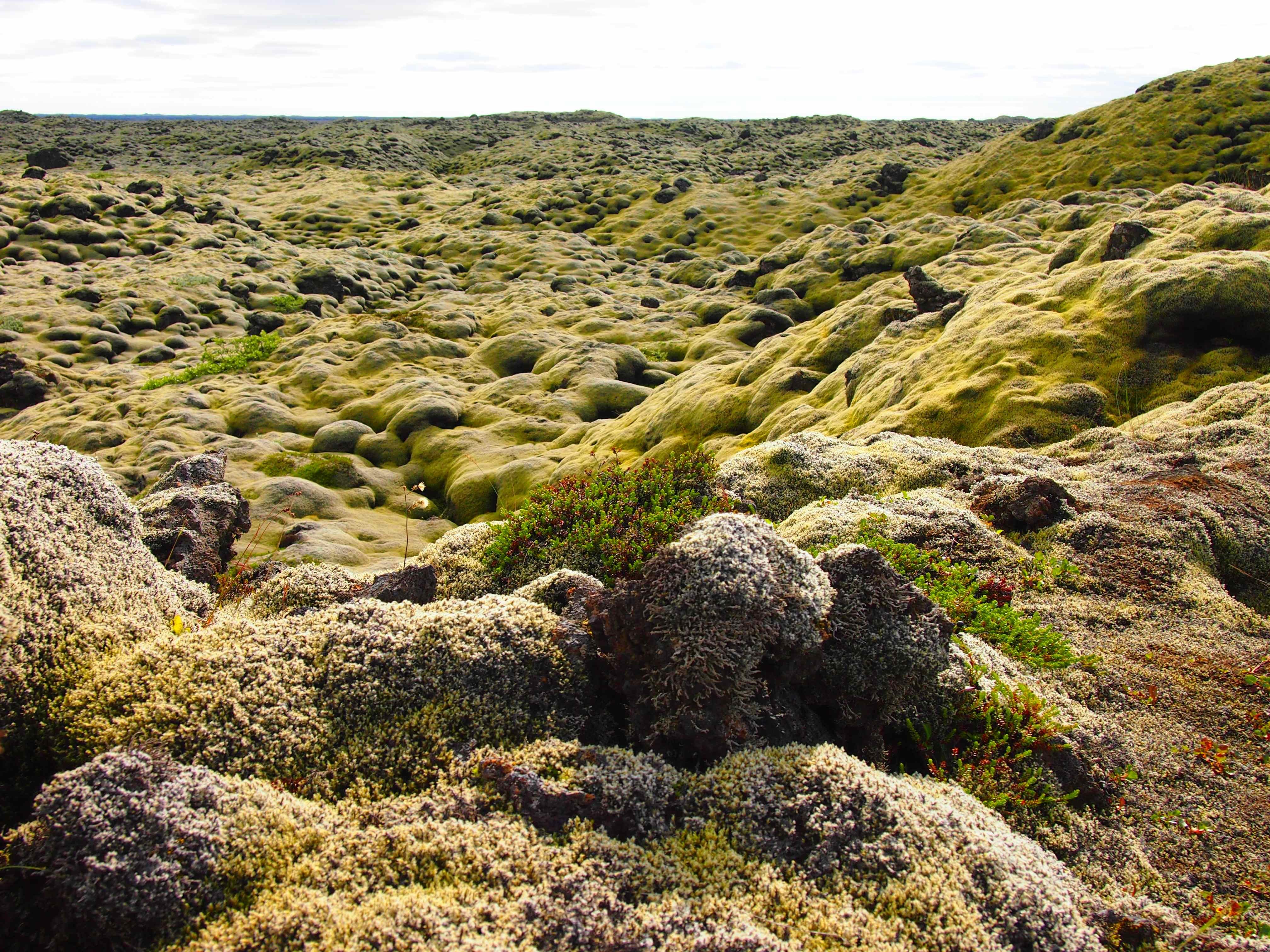 Moss Iceland 1