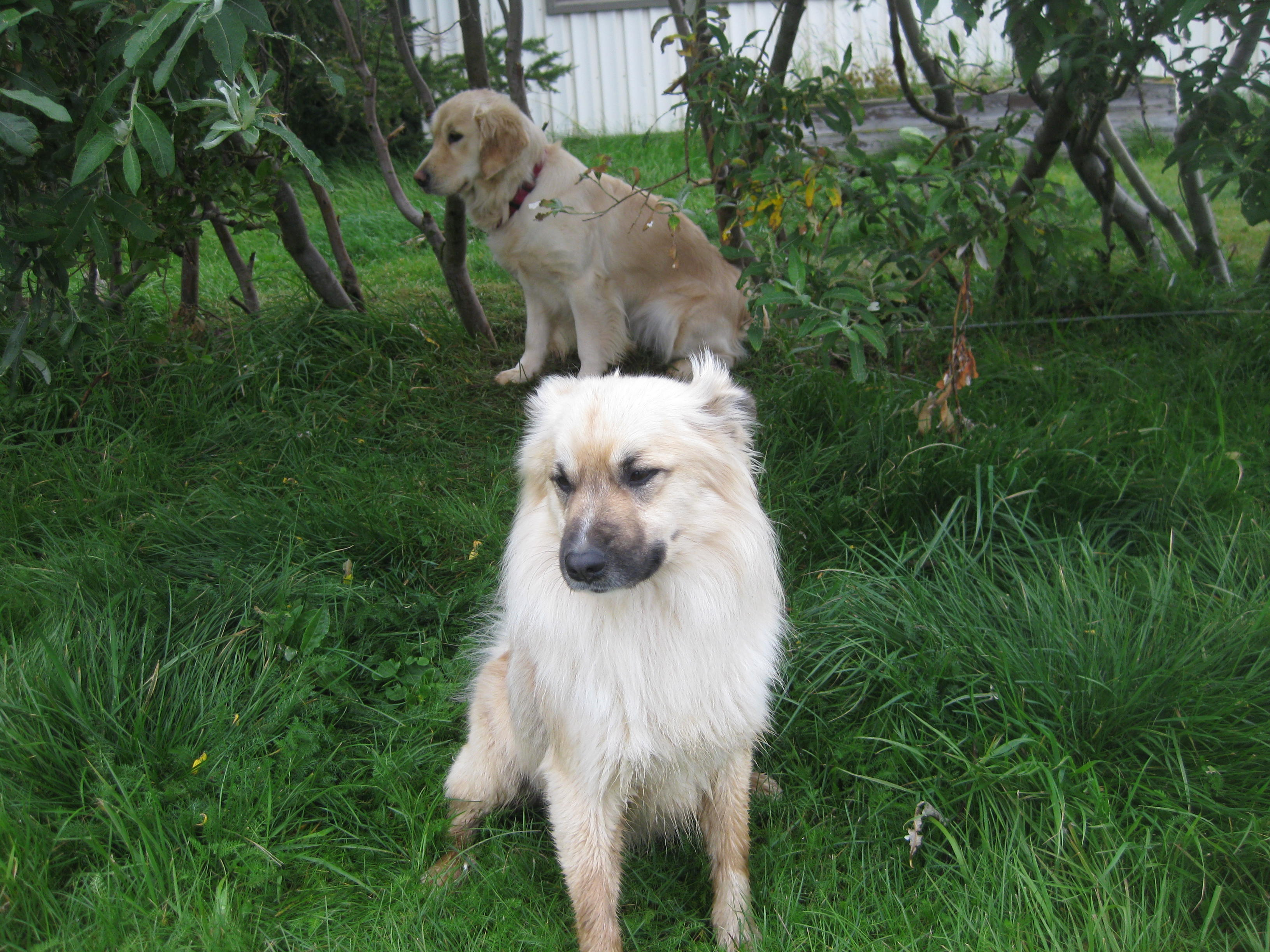 Icelandic Sheepdog and lab