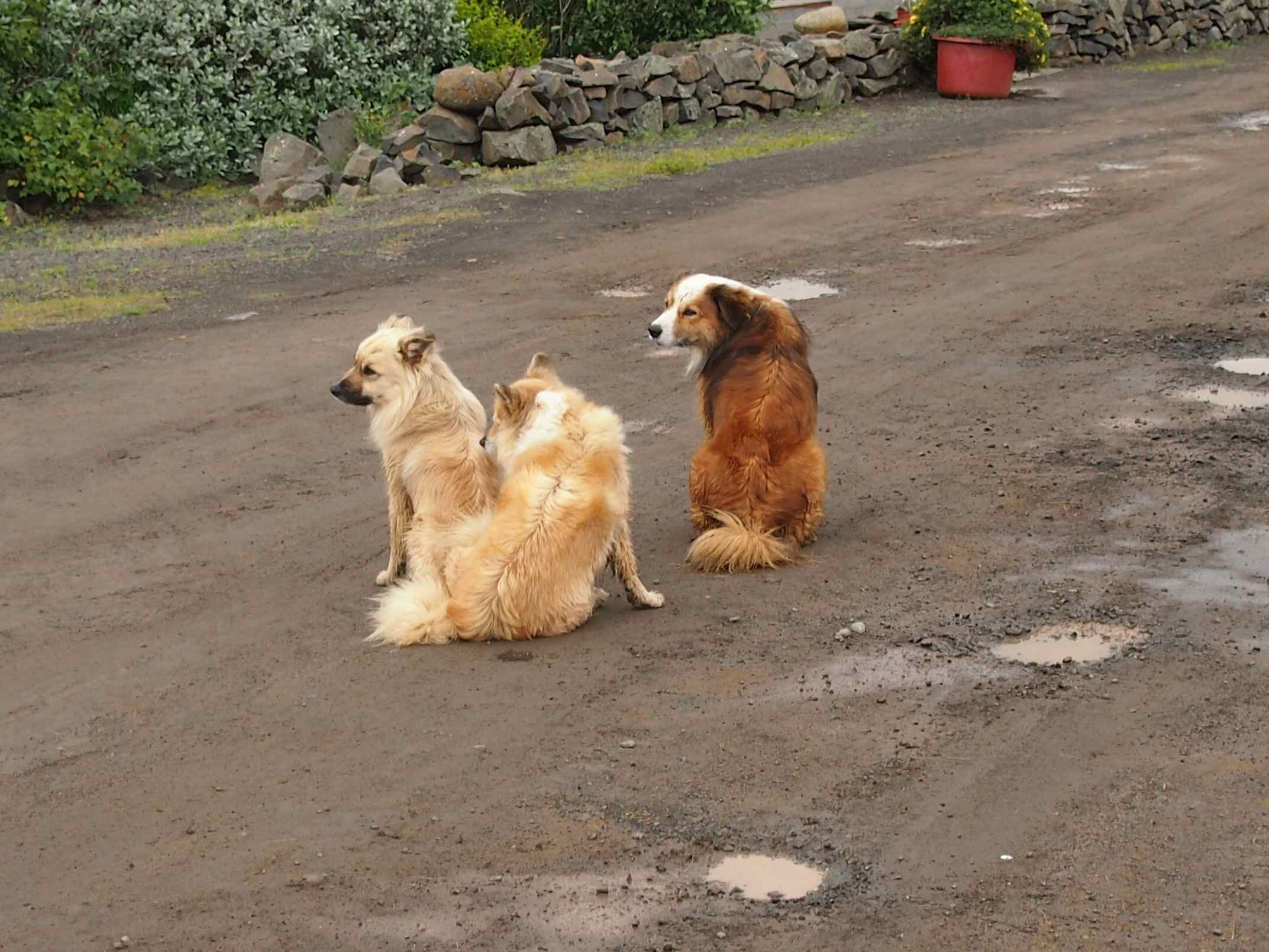 Iceland dogs