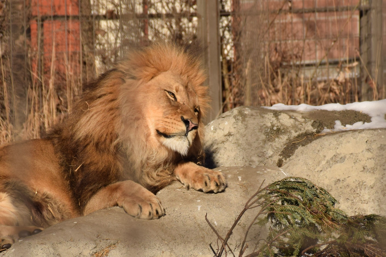 lion_sleepy