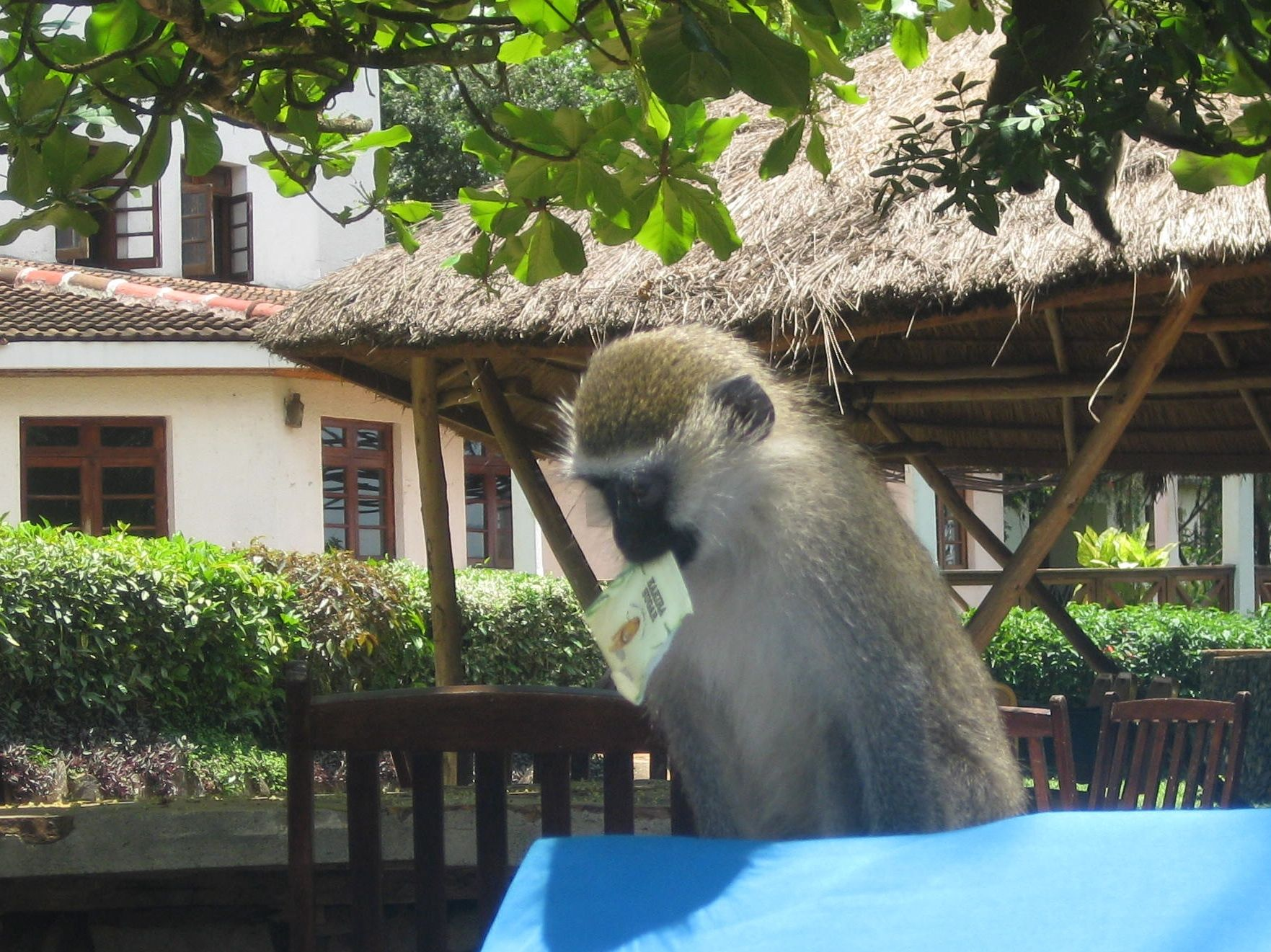 Tea packet monkey